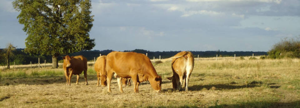 A Welsh framer breeding pedigree Limousin cattle in the Limousin.